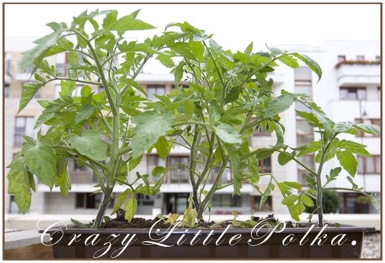 pomidory w miescie 2