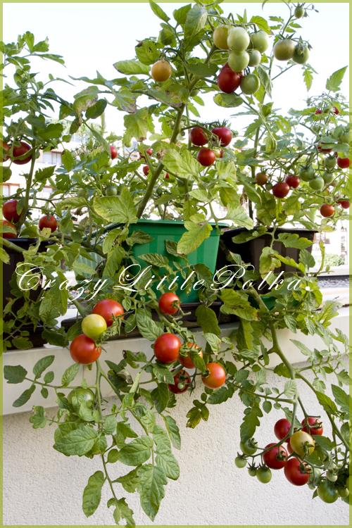 pomidory zwisajace 2