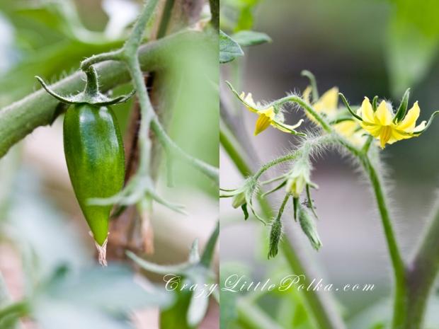 kwiaty i pomidory